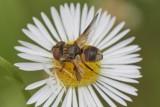 Ectophasia crassipennis or oblonga (f)