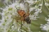 Hyalurgus lucidus