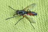 Tachinidae - Raupenfliegen
