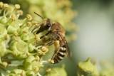 Hymenoptera - Hautflügler - wasps, ants, bees