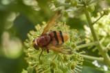 Diptera - Flies and midges
