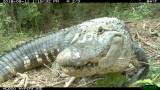 Gator Nest Cam Pics