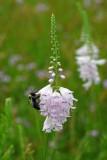 Physostegia angustifolia
