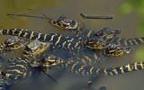 American Alligator hatchlings