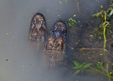 Gator Brood - 2nd year young at winter den,