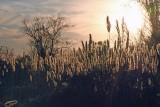 Giant Plumegrass (Saccharum giganteum)