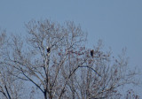 Adult Bald Eagle and adult Golden Eagle