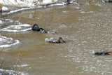 American Alligators - icing response