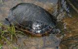 Western Chicken Turtle