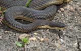 Graham's Crayfish Snake