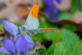 Orange Tip/Aurora Butterfly