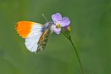 Orange Tip/Aurora Butterfly