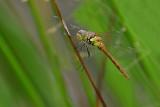 Red Darter (Female)