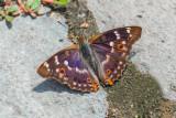 Lesser Purple Emperor (Male)