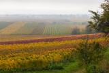 Lifting Fog in the Vineyard