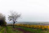 Fog in the Vineyard