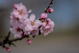 First Almond Blossoms