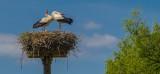 Clapper Storks