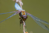 Broad bodied Chaser -  In Your Face