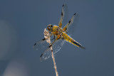 Four Spotted Chaser  (male)