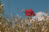 Poppy in the Wheat Field