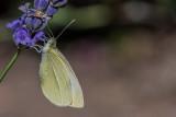 White on Lavendar