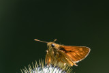 Essex Skipper and other Skippers