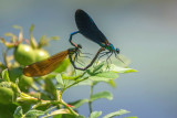 Beautiful Demoiselle (Male and Female Mating)