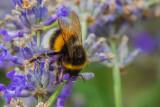 Bumble Bee Close