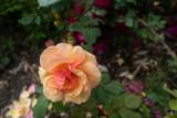 2021-06-04 (Rose Garden Test Shots)-1000059.jpg