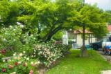 Local Rose Garden-Late Spring, 2021