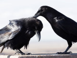 Crows 055_PC260372