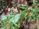 Giant Wakerobin (Trillium chloropetalum)