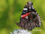 Papillon Vulcain /  Butterfly