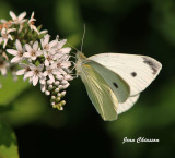 Papillons - Butterfly
