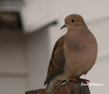 Tourterelle triste ( Mourning Dove)