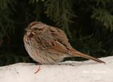 Bruant Chanteur /Song Sparrow