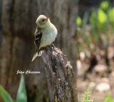Chardonneret jaune ( American Goldfinch  Female