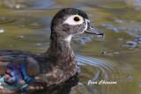 Canard Branchu _ Wood Duck