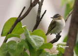 Viréo Aux Yeux Rouges / Red - eyed Vireo