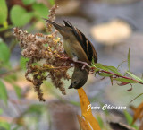Chardonneret jaune ( American Goldfinch