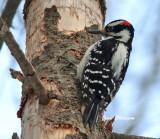 Pic chevelu ( Hairy Woodpecker)