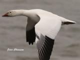 Passage des oies au Québec - Passage of the geese in Quebec