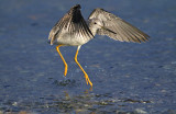 Yellow Legs Bird