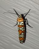 AilianthusWebworm7.jpg