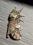 Prominent Moths & Others