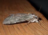 Underwing Moths