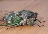 Cicada36.jpg