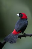 Crimson-collared Tanager