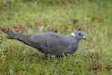 White-collared Pigeon